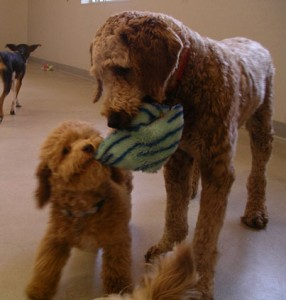 dogs_playing